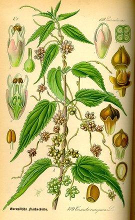 纲                          双子叶植物
