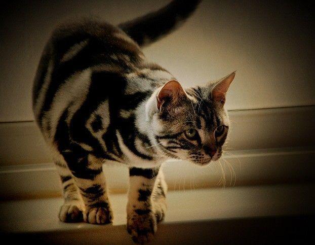 斑猫,或称野猫或山猫,是一种小型猫科动物,原生于欧洲地区,亚洲西部