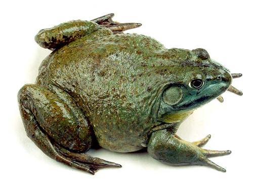 壁纸 动物 两栖 蛙 500_365